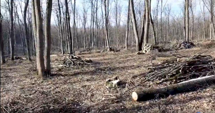 Legaţi la ochi pentru a nu vedea cum se fură  pădurea