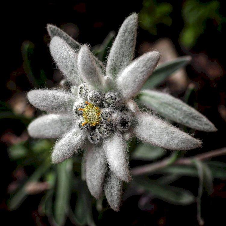 Legenda florii de colț
