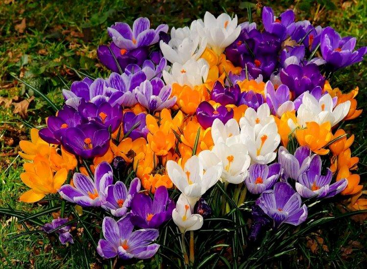 Primăvara vine cu brânduşe