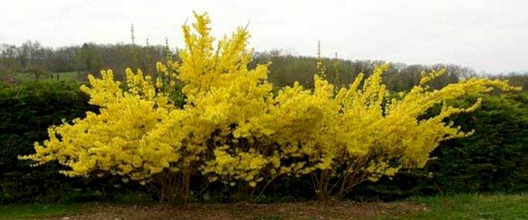 Forsythia - ploaia de aur