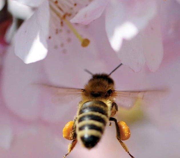 Zbor frânt pentru… insectele care polenizează