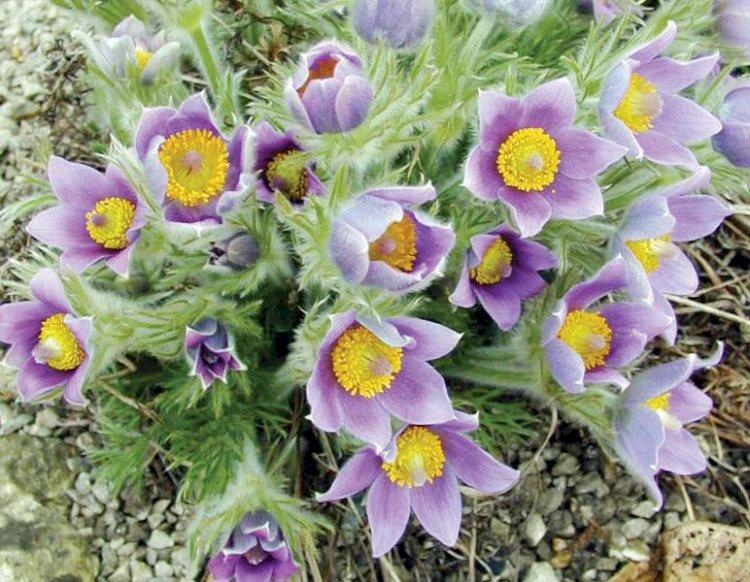 Dediţelul (Floarea Paştelui)