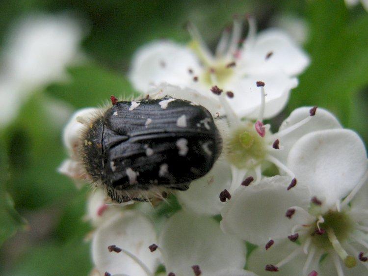 Gândacul păros și extrem de mâncăcios