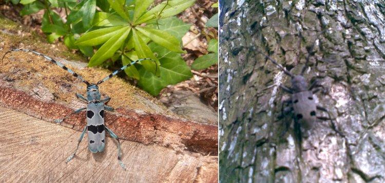Croitorul alpin și croitorul cenușiu: insecte importante pentru sănătatea pădurilor