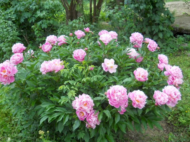 Bujorul - regele grădinii