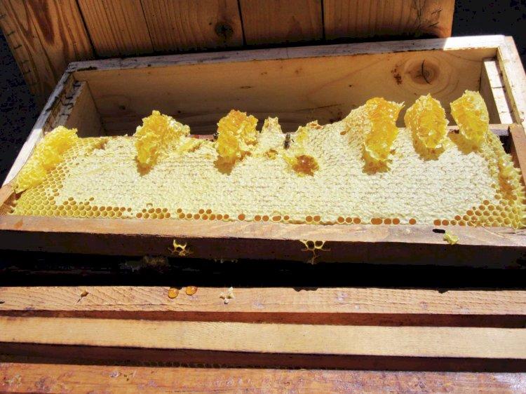 Albinele riscă să dispară