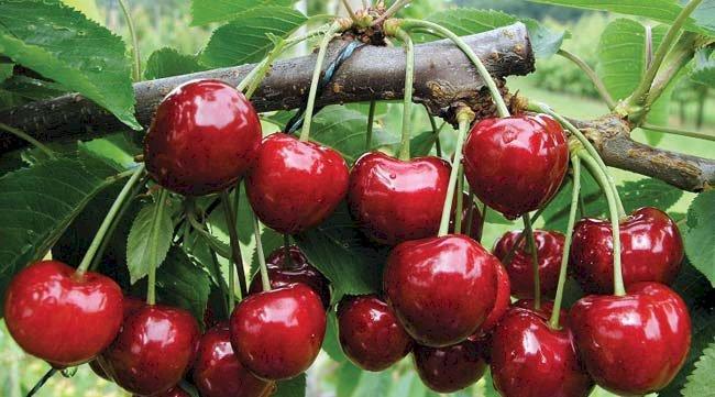 Cireșele de mai, medicament natural