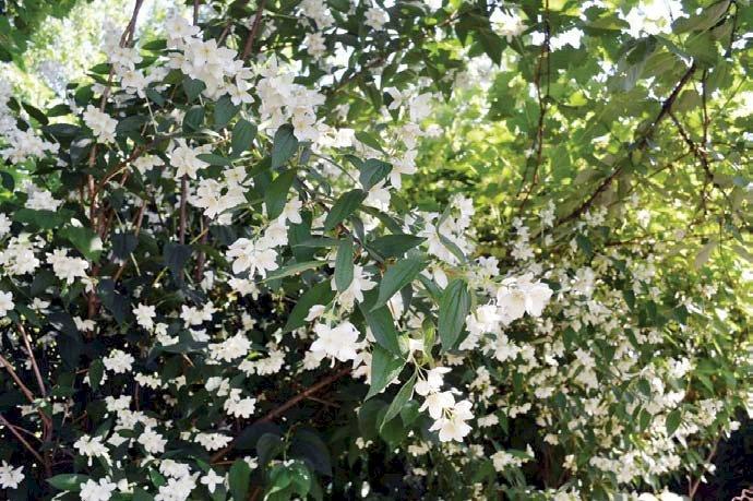 Iasomia, arbustul care parfumează grădina
