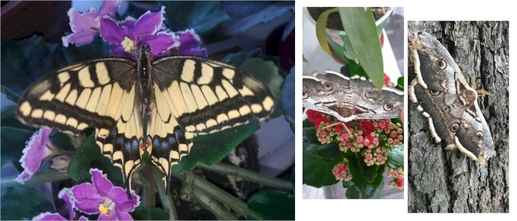 Cei mai spectaculoși fluturi din Republica Moldova