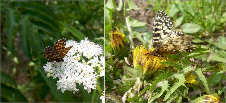 Fluturele cucului și Fluturele polixena