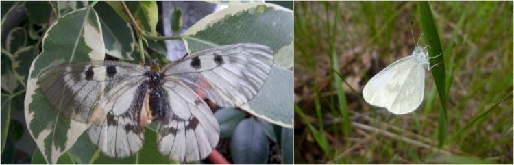 Fluturele apolon-negru și Albilița mică
