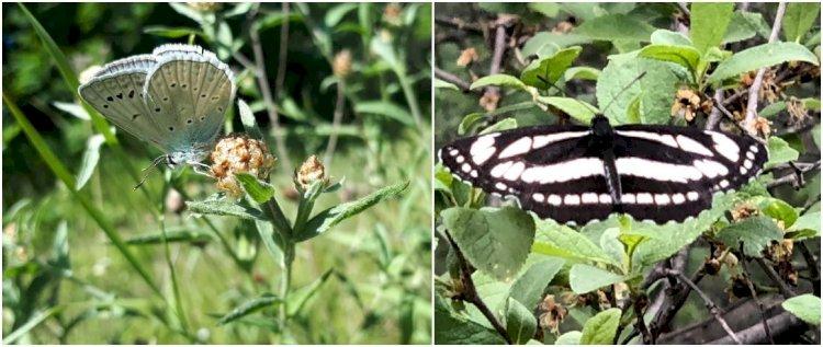 Albăstrița Dafnis și Fluturele Sappho