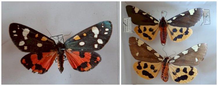 Două specii de fluturi care arată aproape identic!