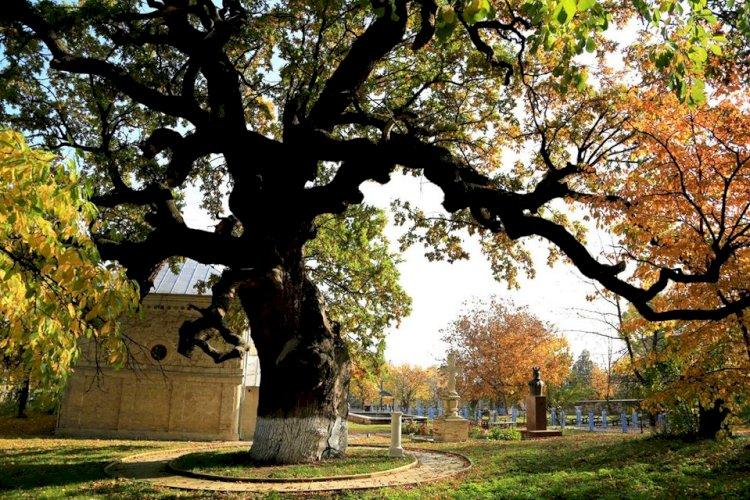 Uriaşul stejar de la Cobâlea