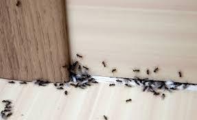 Cum scăpăm de furnici