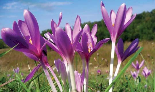 Brânduşa de toamnă (Colchicum autumnale)