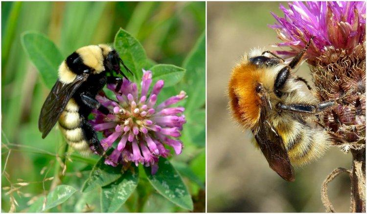 Bondarii - principalii polenizatori în peisajele sălbatice