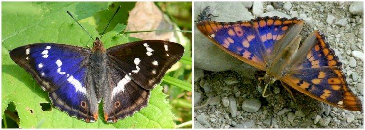 Două specii de fluturi cu irizații