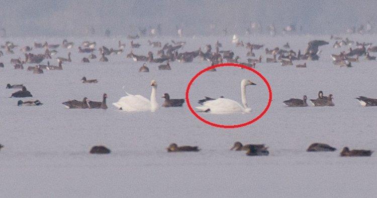 O lebădă mică venită de la Cercul Polar a poposit pe lacul Beleu