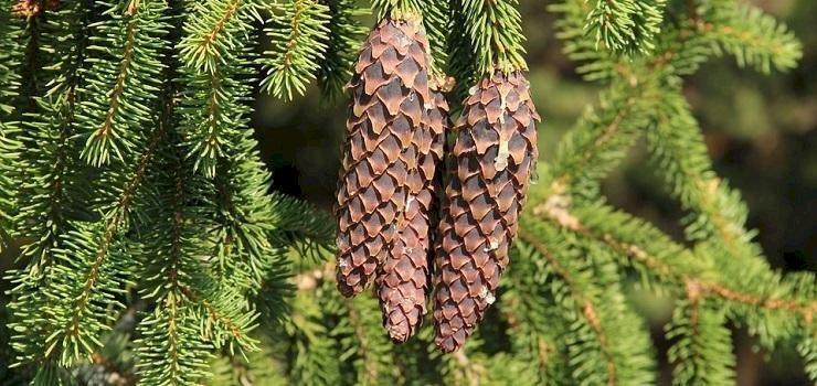 Remedii luate din pădurea de conifere