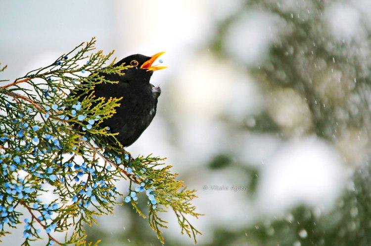 Hrănirea păsărilor sălbatice în perioada geroasă