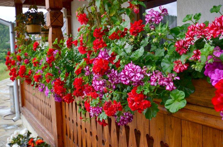 Muşcate cu flori bogate pentru casă şi grădină