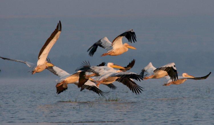 Recorduri de zbor în lumea păsărilor