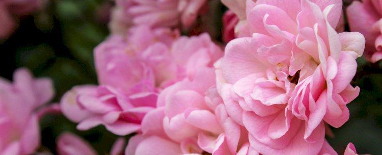Cum se recoltează şi se usucă petalele de trandafir