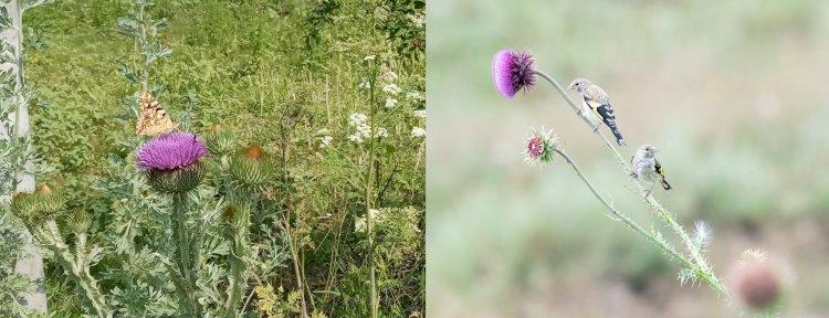 Ce au în comun ciulinul, sticletele și fluturele?