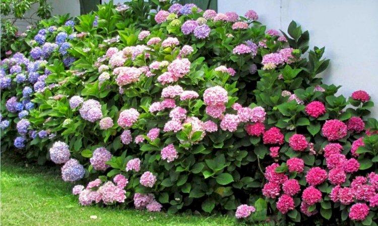Hortensia (Hydrangea) - plantare și îngrijire