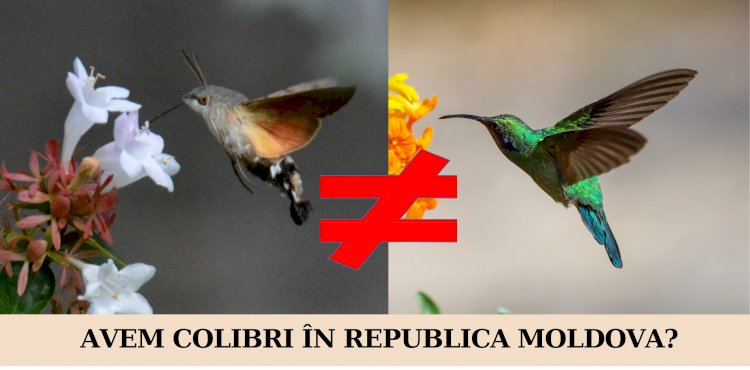 Avem colibri în Republica Moldova?